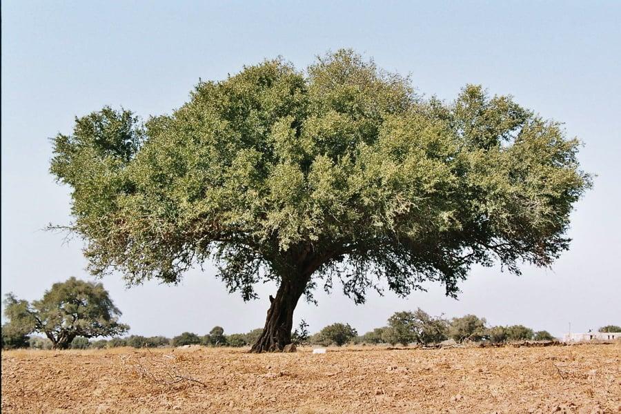 zanimljivosti-6-argan-tree-naslovna